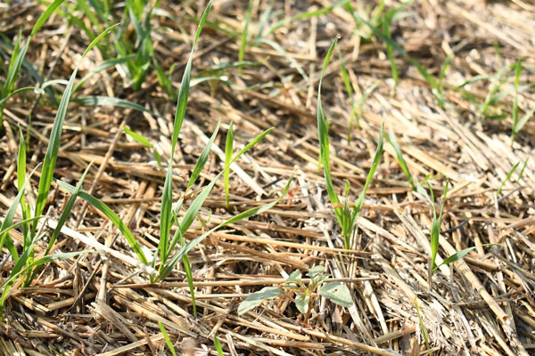 Palmer amaranth and volunteer wheat can quickly emerge