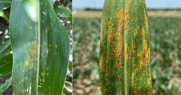 Fungicide considerations for corn diseases: Scouting is key